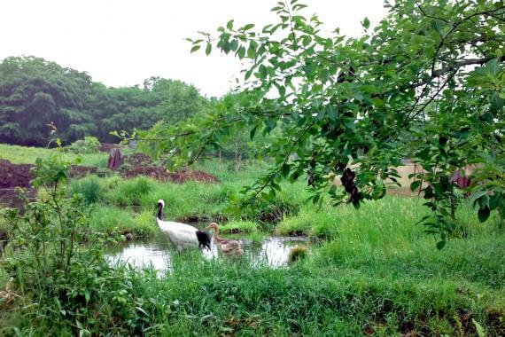 Get to Know the Red-crowned Crane