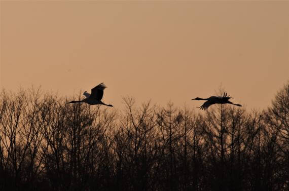 Observe Red-crowned Cranes on a One-day Charter Tour