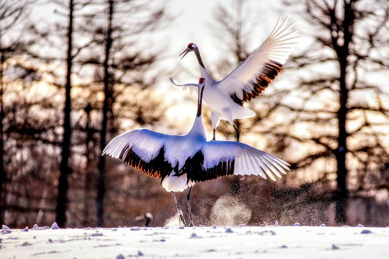 Standing Tall and Red: Wild, Red-Crowned Crane at the Tsurui-Ito Tancho Sanctuary