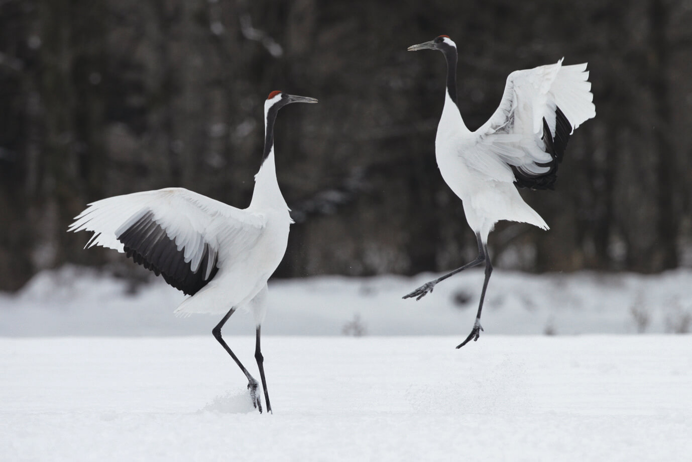 Akan International Crane Center [GRUS]: Marvel at the Rare and Beautiful Red-Crowned Cranes