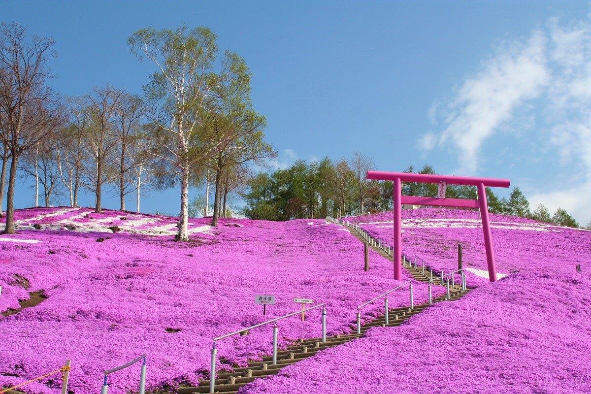 Higashimokoto Shibazakura Park: Enjoy the Panoramic View of Moss Phlox