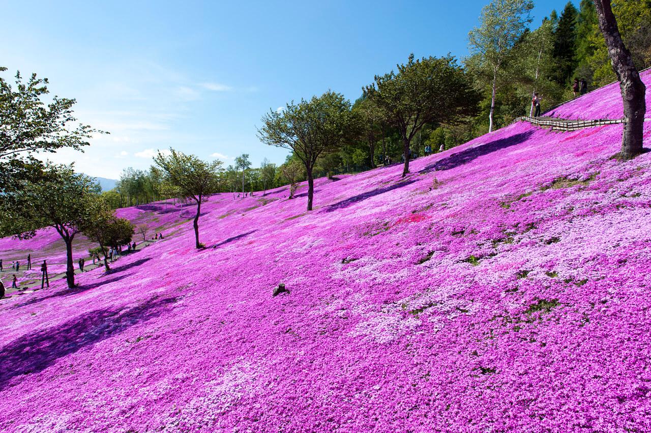 Endless Fields of Pink: Shibazakura Takinoue Park