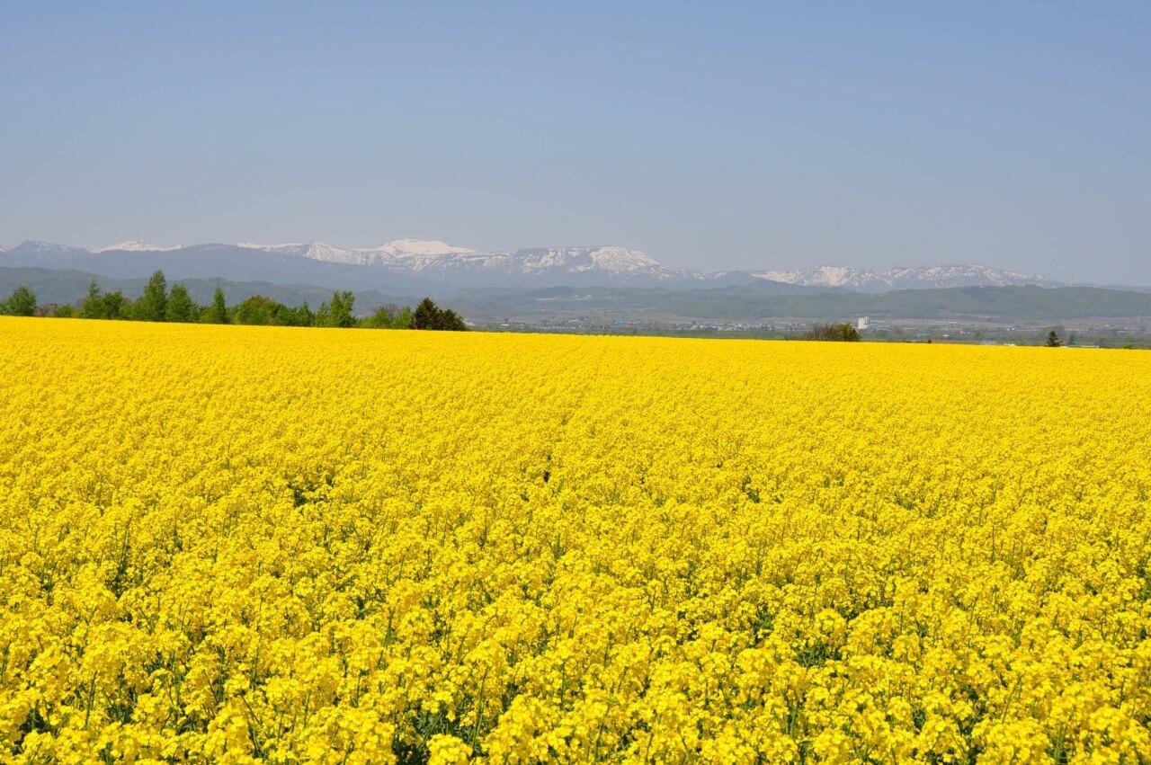 A Breathtaking Flash of Yellow: The Takikawa Nanohana Fields