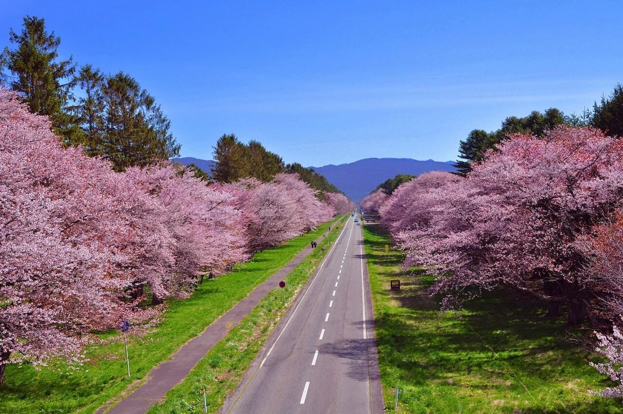 The 3,000 Cherry Blossom Trees of Nijukken Road