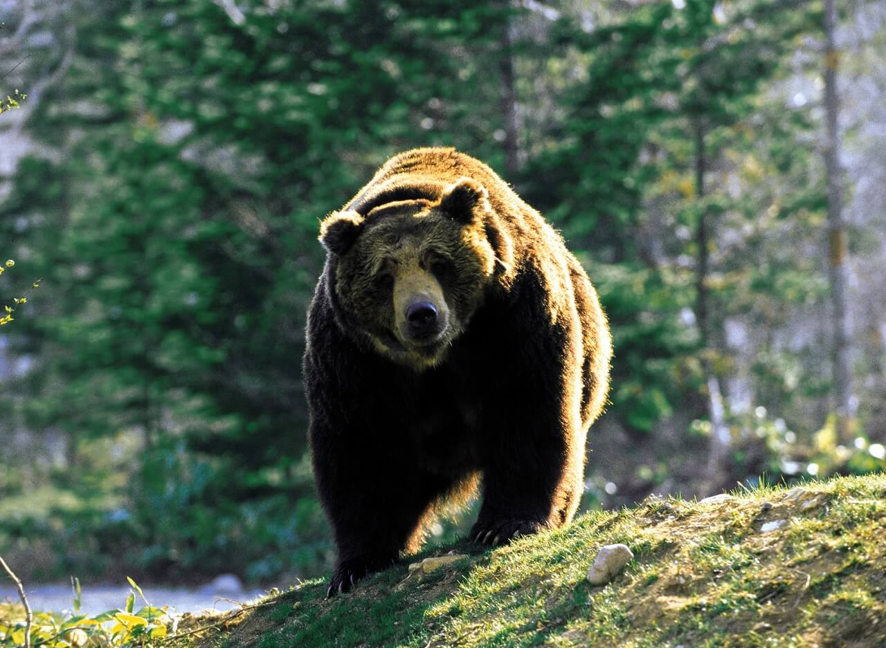 See Bears in the Wild at Sahoro Resort Bear Mountain