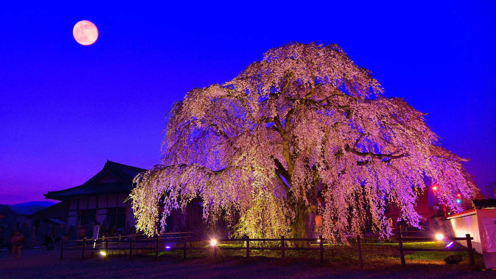 Hokuto Sakura Festival: Illuminated Cherry Blossoms Light Up the Night
