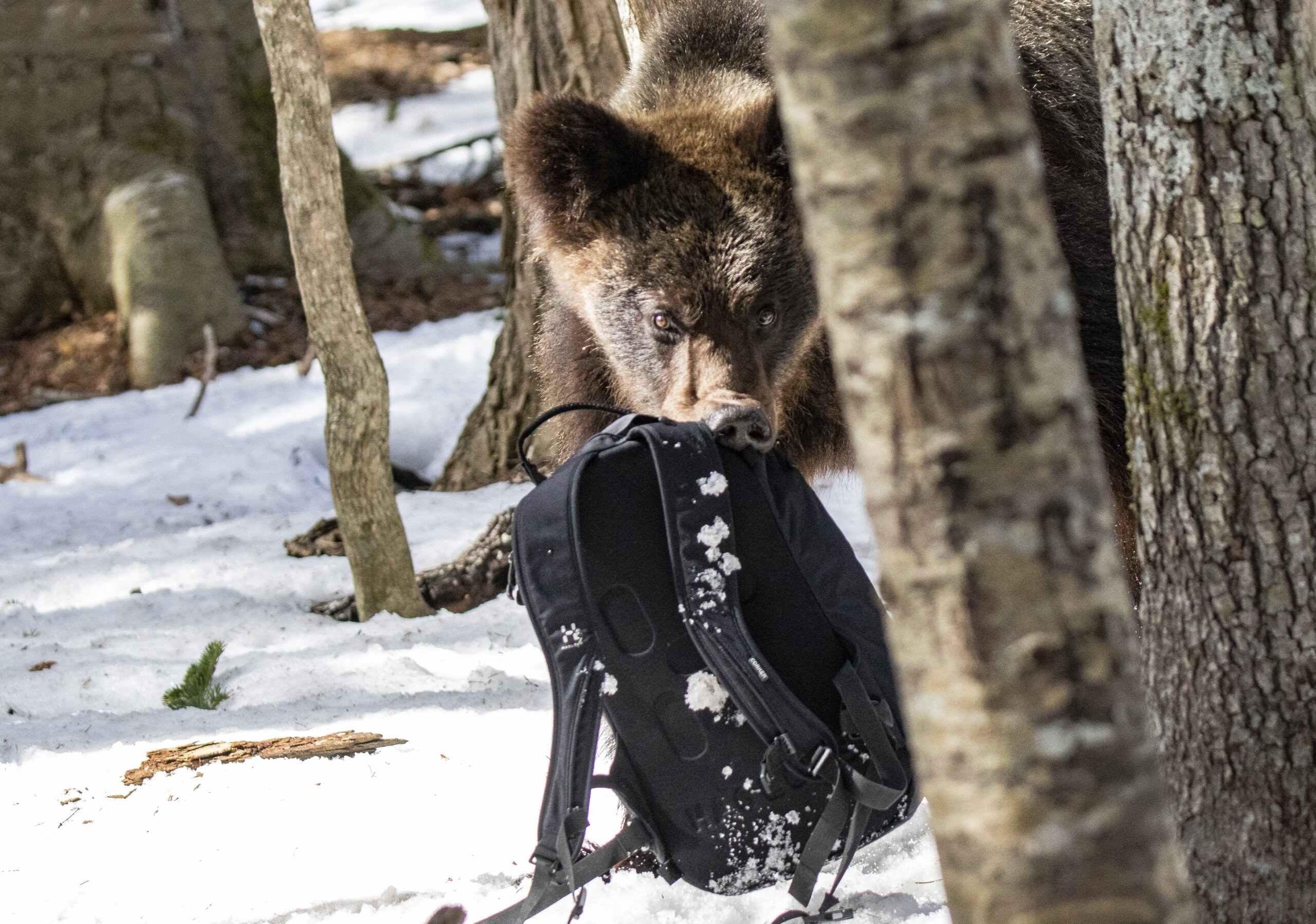 The moment when Kishimoto's backpack, placed off to the side and containing his camera equipment, was grabbed by the bear. ⒸKishimoto Hideo