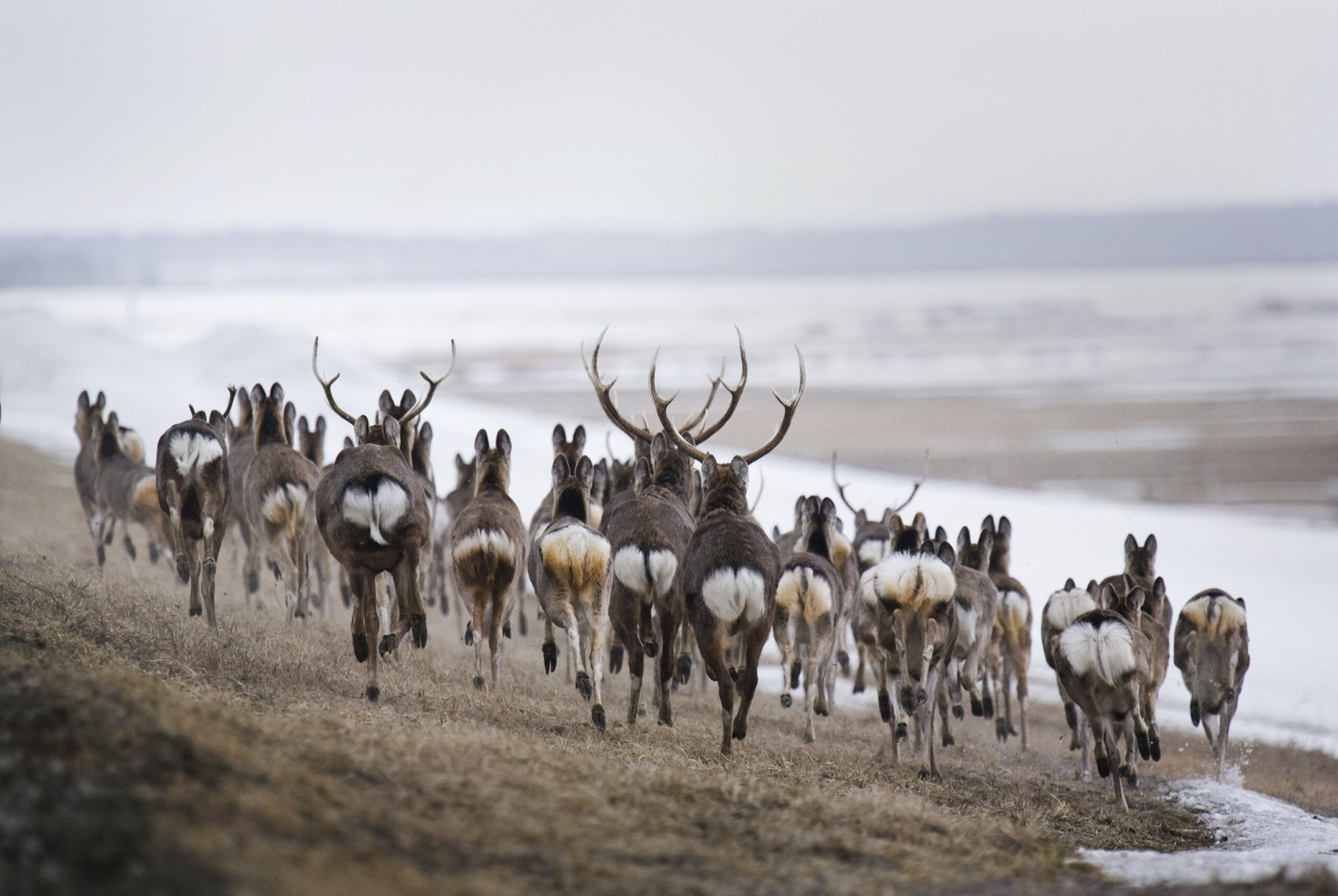 A herd of Yezo sika deer near the Teshio River in Northern Hokkaido, in the evening during March. ⒸKishimoto Hideo