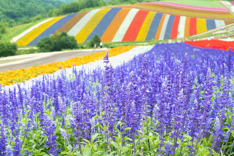 Hokkaido's Treasured Lavender Fields
