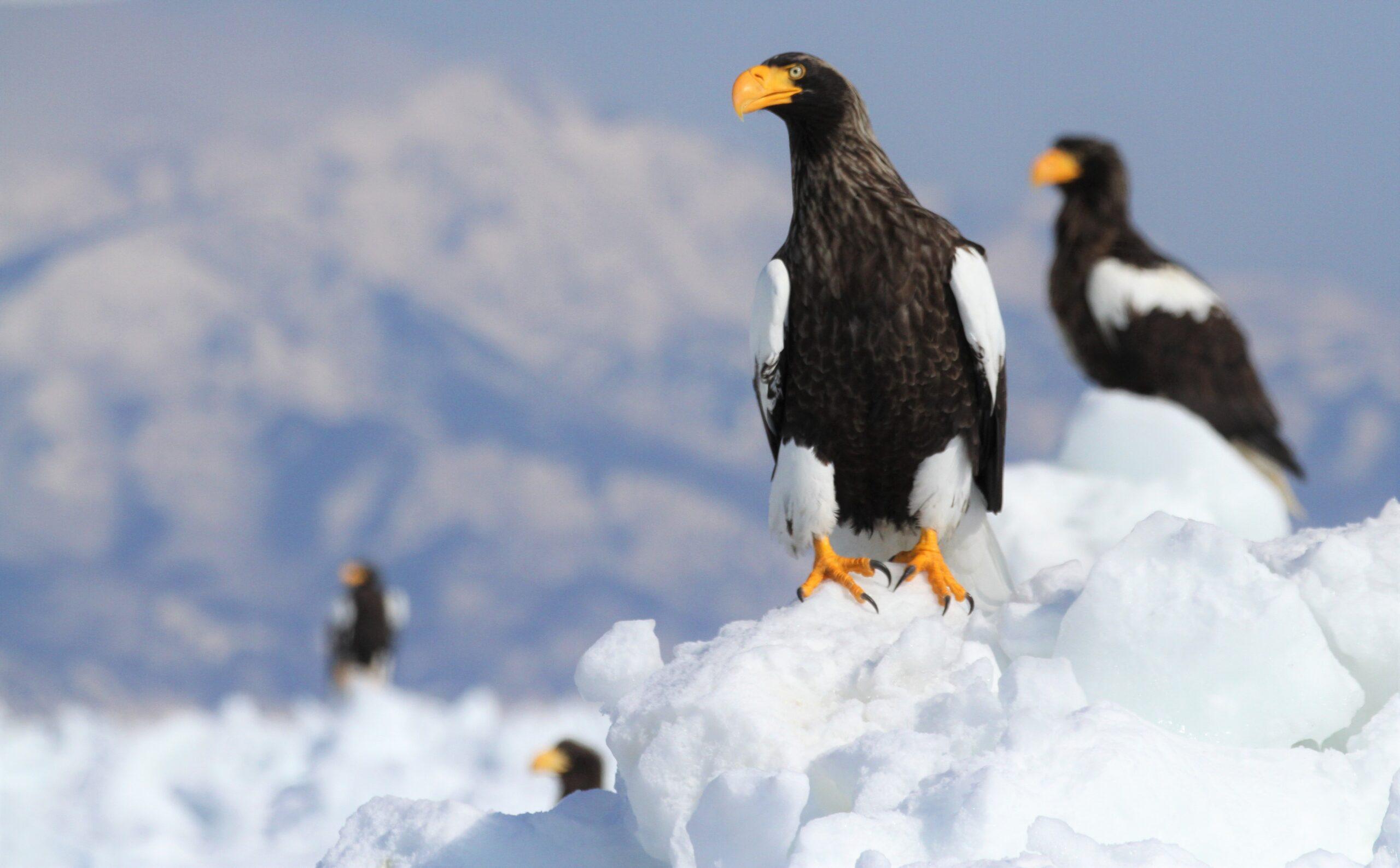 Take a winter Drift Ice and Birdwatching Cruise in Rausu, East Hokkaido