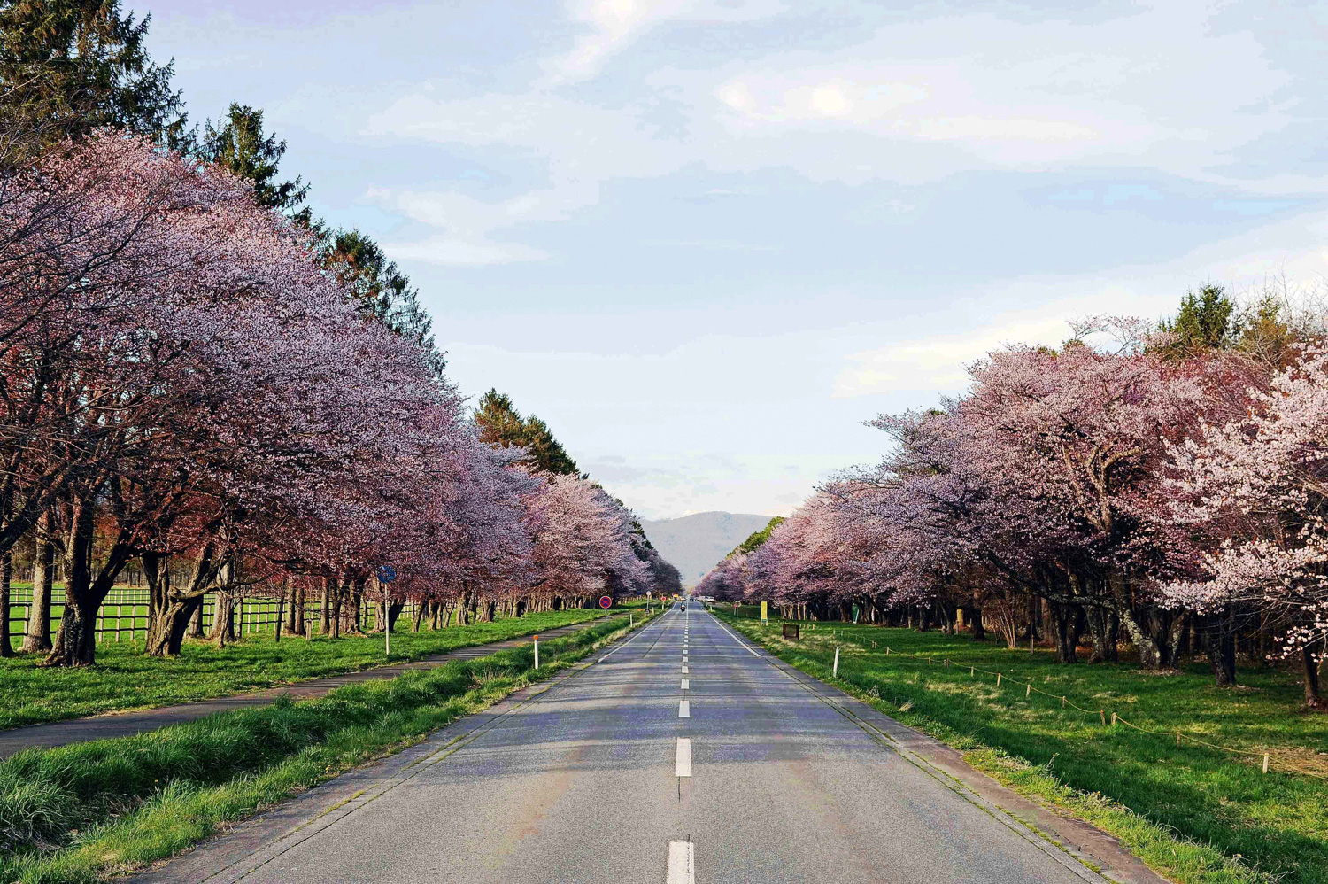 5 Recommended Places to View Cherry Blossoms in Hokkaido
